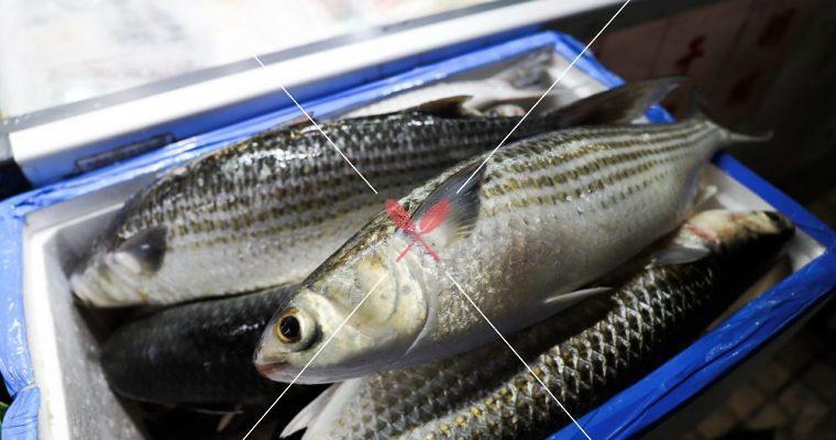 訂戶獨享【深度台灣在地蔬果水產集】烏魚,全身都是寶的「黑金」,營養價值高,肉質細緻鮮美!
